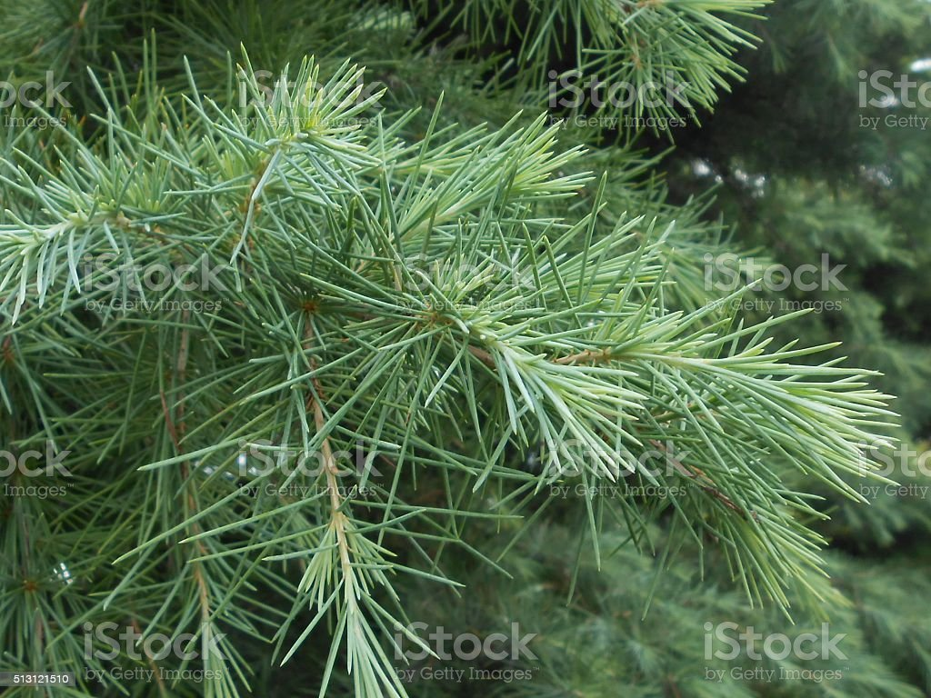 Sciadopitys Verticillata (Japanese Umbrella Pine) Tree Branches. stock photo