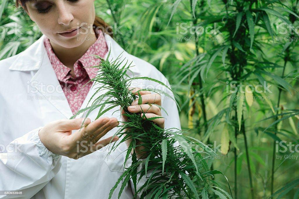 Scientist checking hemp flowers stock photo