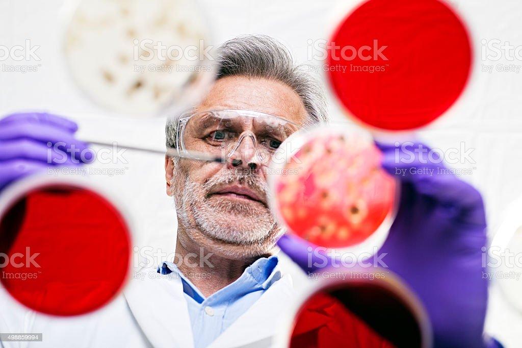 scientist examining cultures in petri dishes stock photo