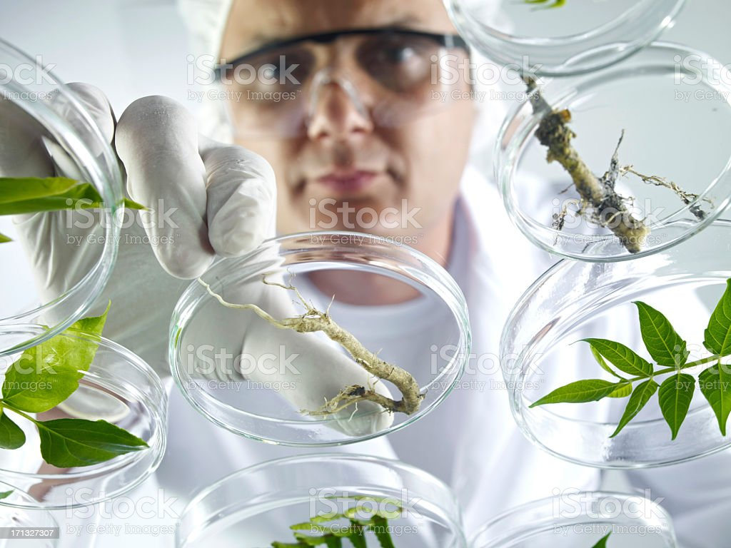 Scientist Examining Petri Dishes royalty-free stock photo