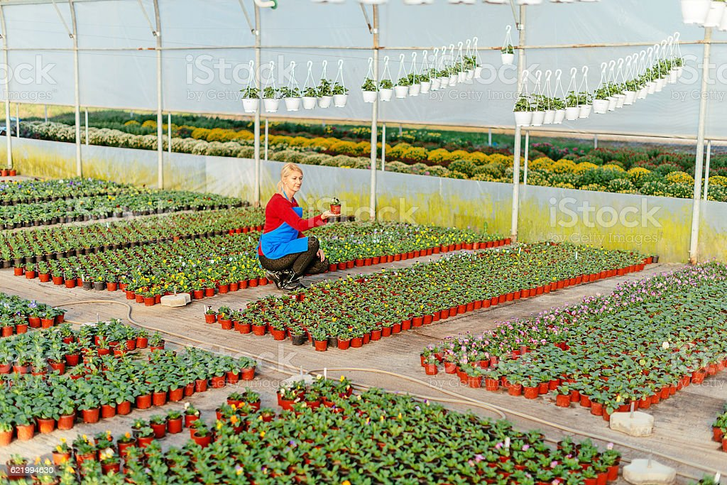 Scientist examining plant growth and development in greenhouse stock photo