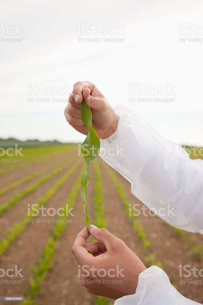 Scientist examining plants in field royalty-free stock photo