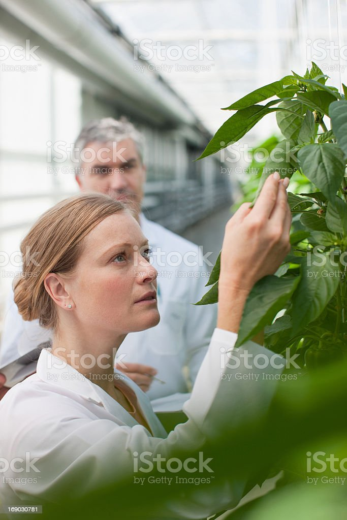 Scientist examining plants in greenhouse royalty-free stock photo