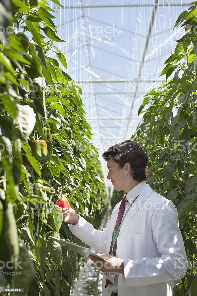 Scientist examining produce in greenhouse royalty-free stock photo
