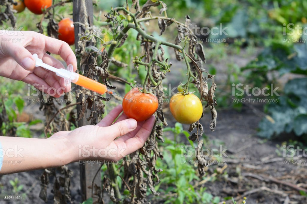 Scientist hands  injecting syringe chemicals into red tomato GMO. Concept for chemical nitrates GMO or GM food. Genetically modified food advantages and disadvantages. stock photo