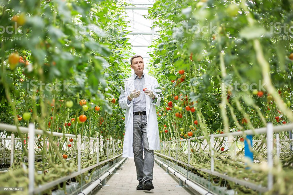 Scientist inspecting tomatoes in greenhouse stock photo