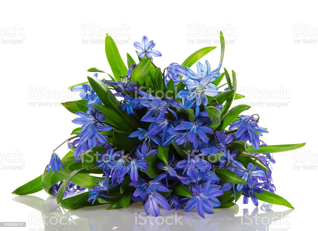 Scilla blue flowers stock photo