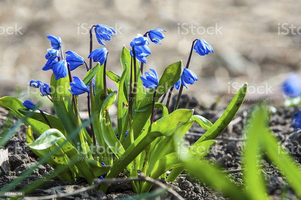 scilla - blue spring flowers stock photo