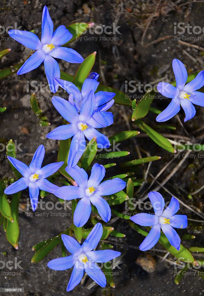 Scilla flowers royalty-free stock photo