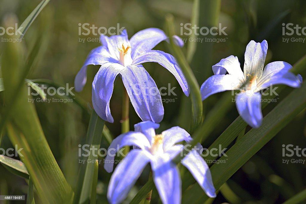 Scilla luciliae in garden stock photo