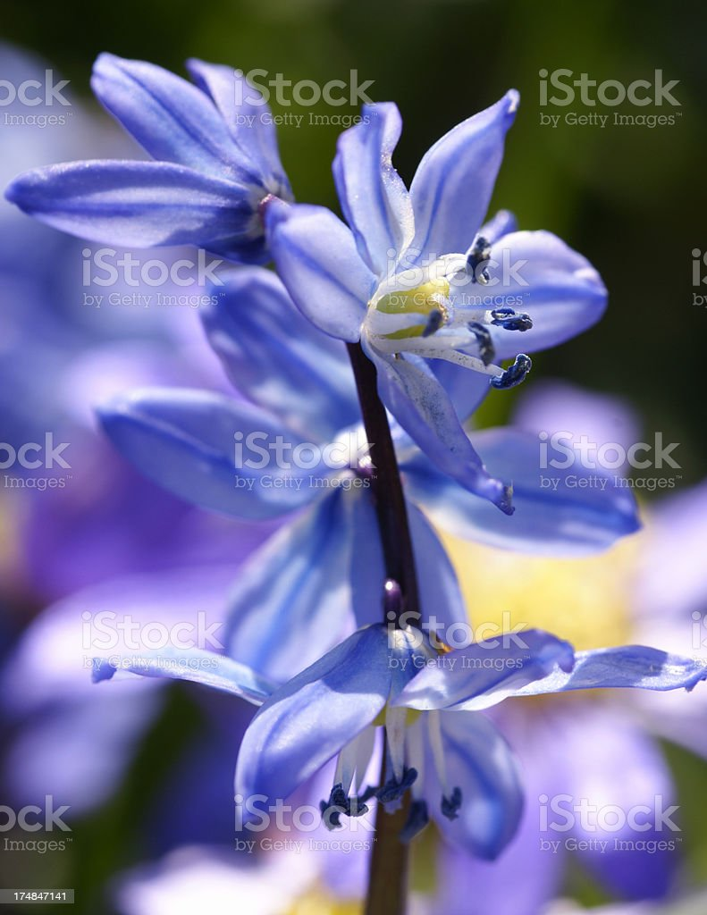 Scilla siberica flowers royalty-free stock photo