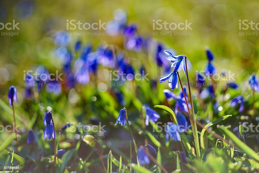 Scilla siberica or Siberian squill flowers stock photo