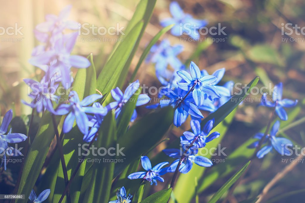 Scilla siberica with sunlight pouring on it stock photo