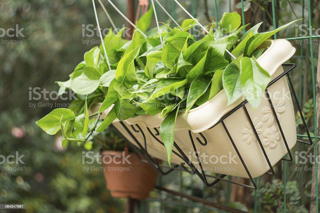 scindapsus aureus in flowerpot stock photo