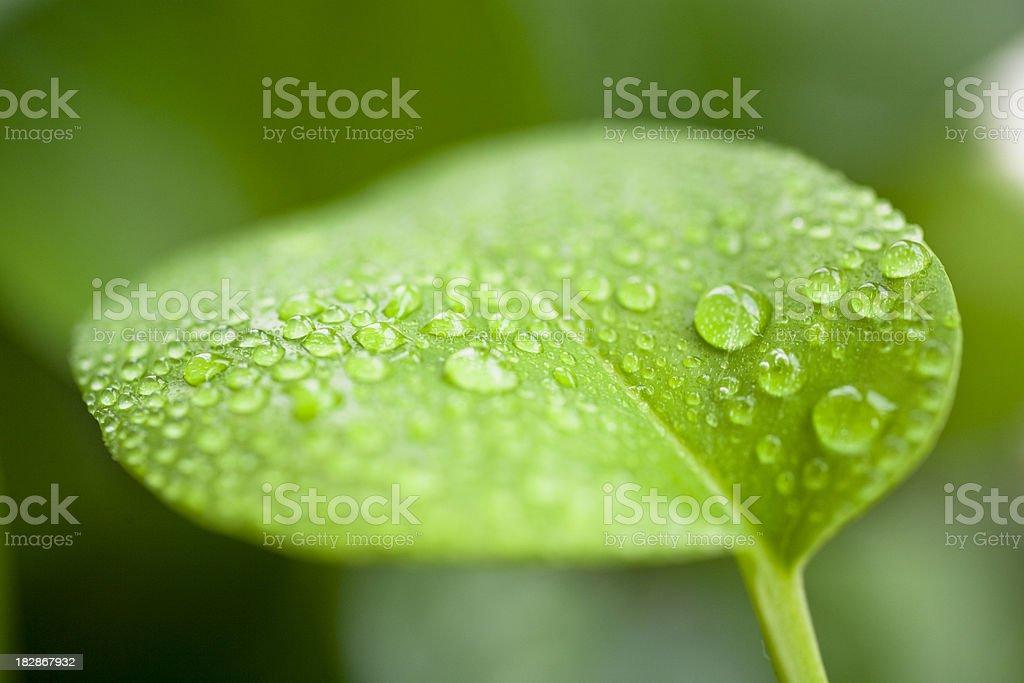 Scindapsus aureus leaves and dewdrop stock photo