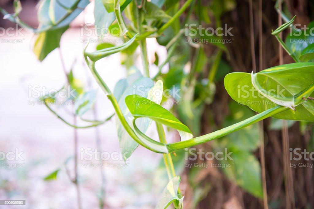 scindapsus aureus stock photo
