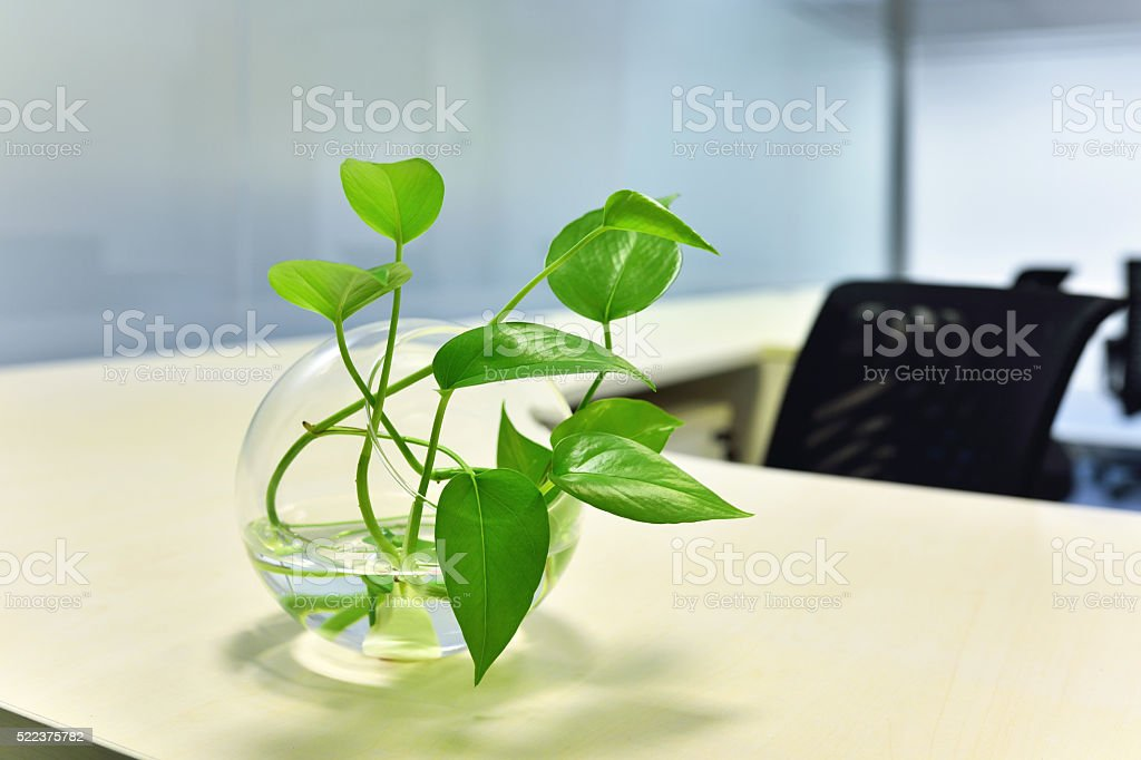 Scindapsus on the office desk stock photo