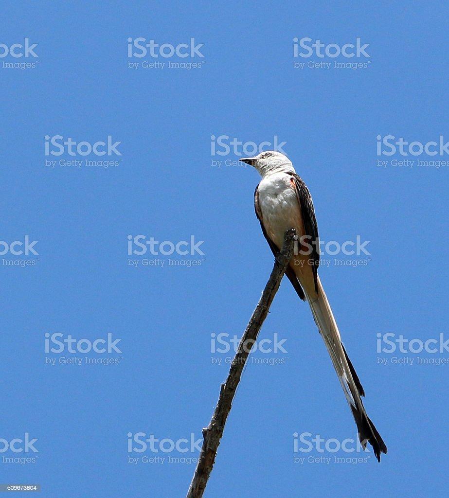 Scissortail Flycatcher against a Bright Blue Sky Background stock photo