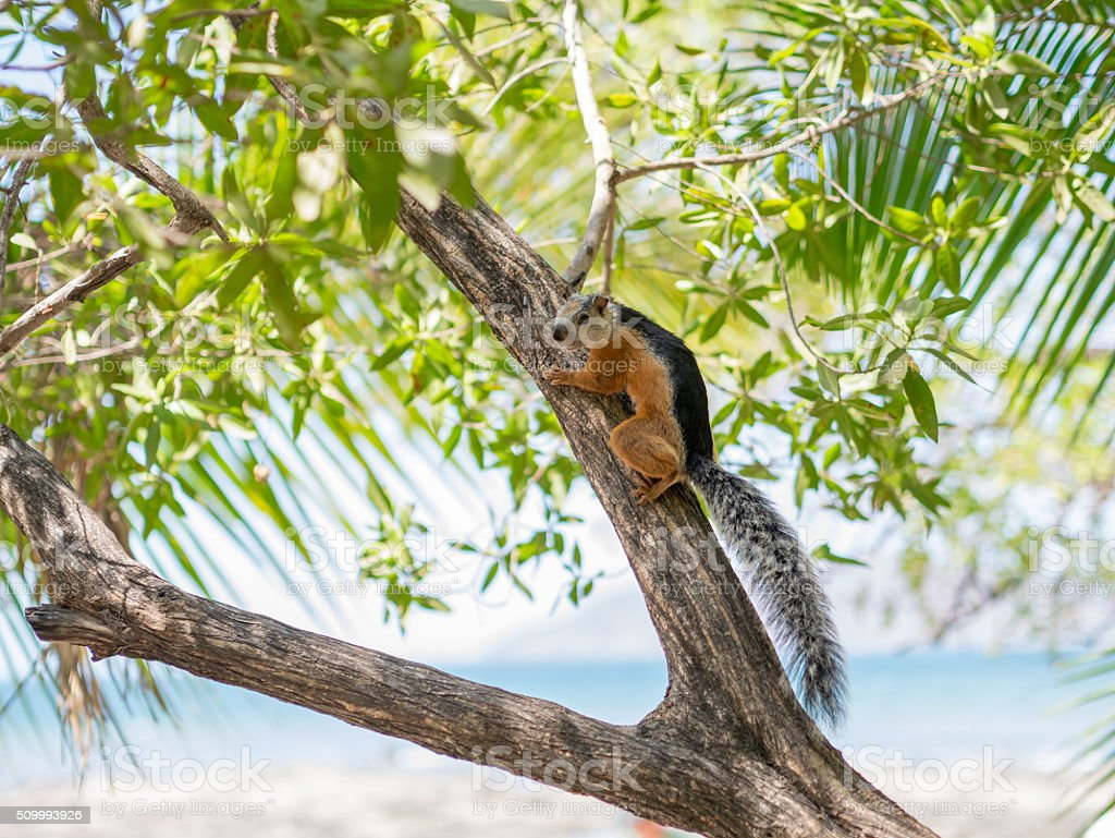 Sciurus on a Tree royalty-free stock photo