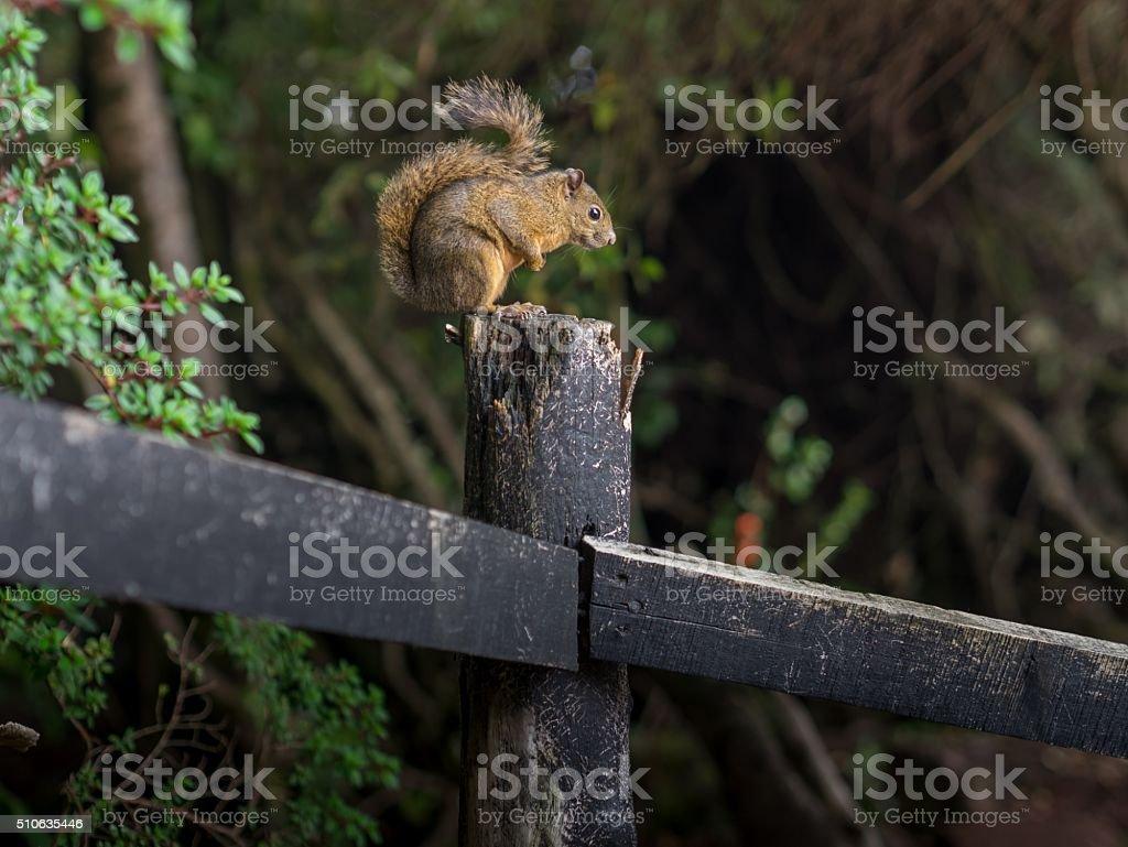 Sciurus on a Tree royalty-free stock photo