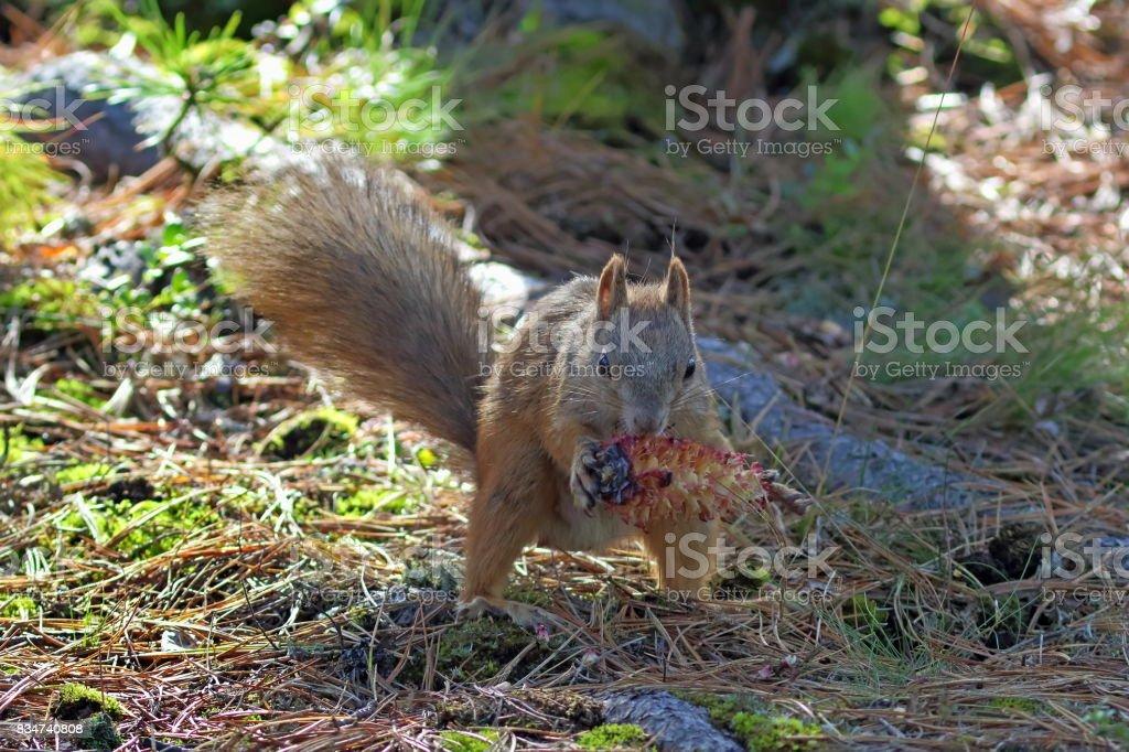 Sciurus vulgaris. Red Squirrel with a bump in Siberia stock photo