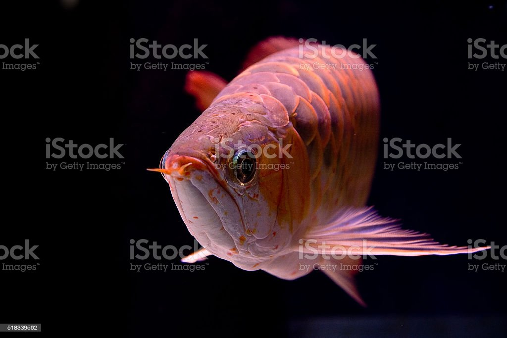 Scleropages formosus stock photo