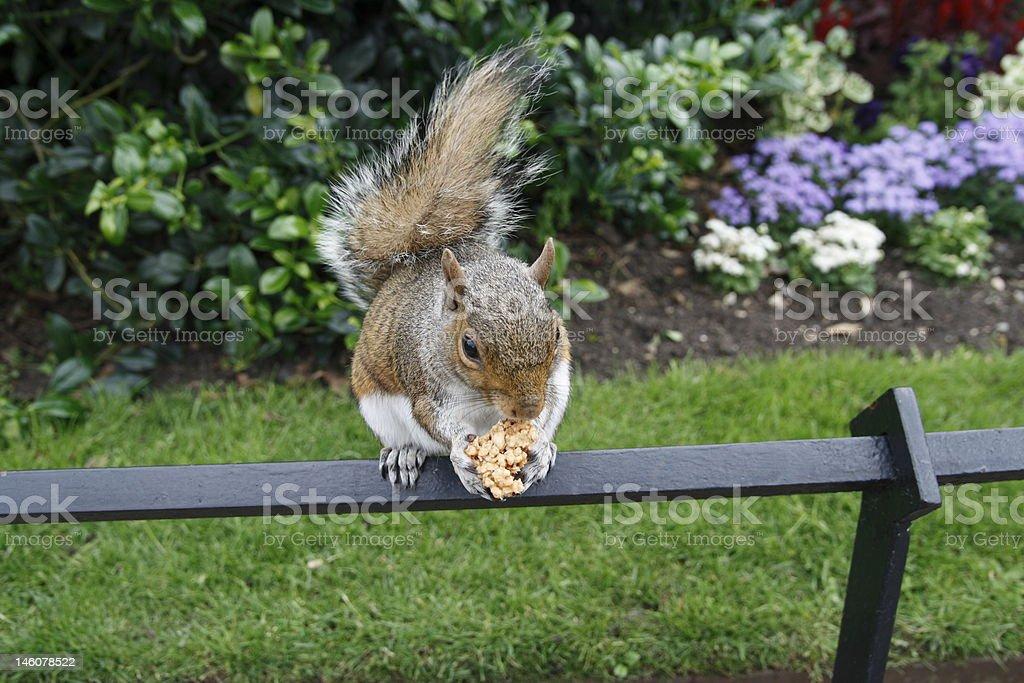scoiattolo goloso stock photo