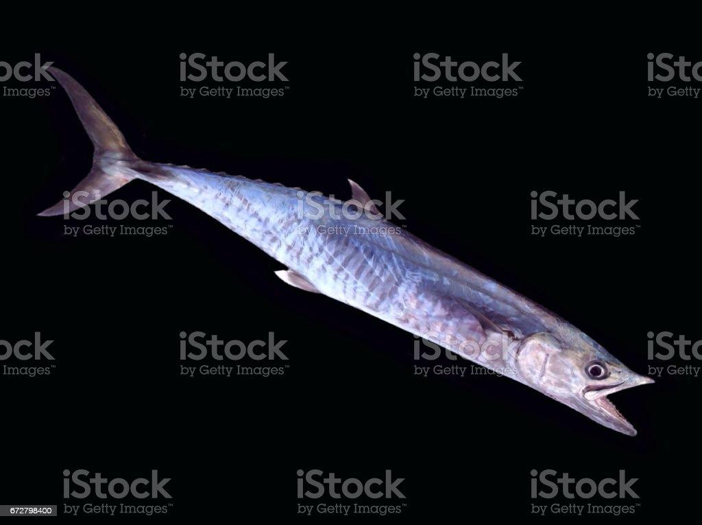 Scomber fish stock photo
