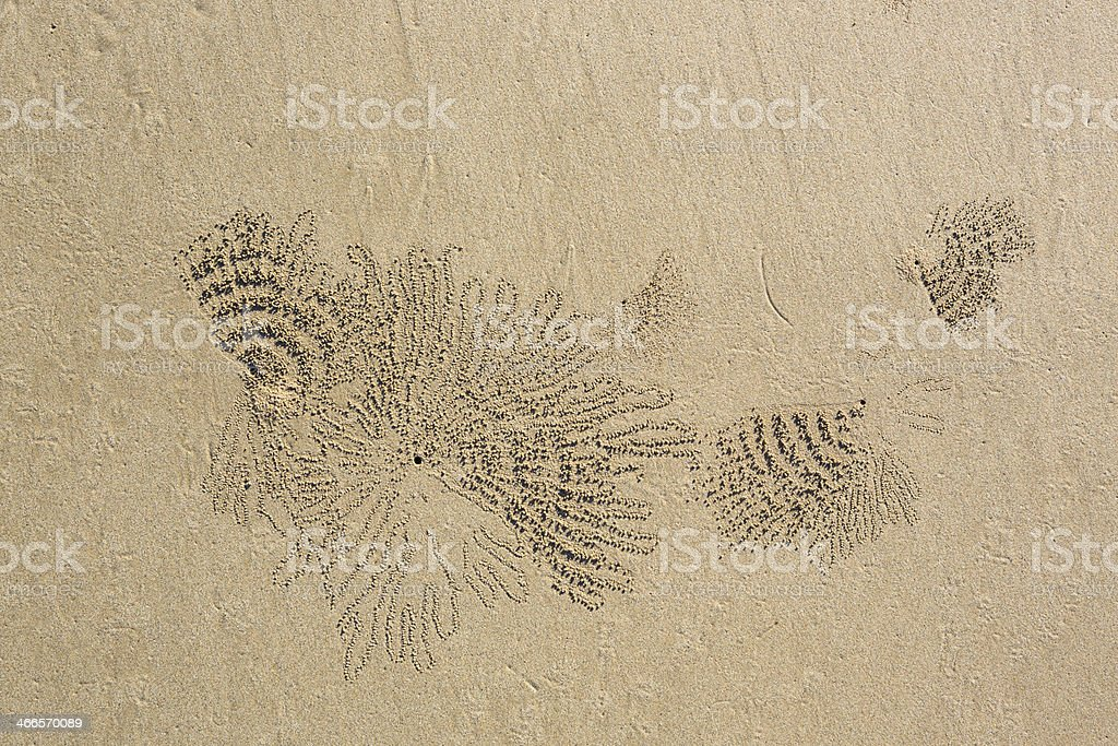 Scopimera - Sand bubbler crabs stock photo