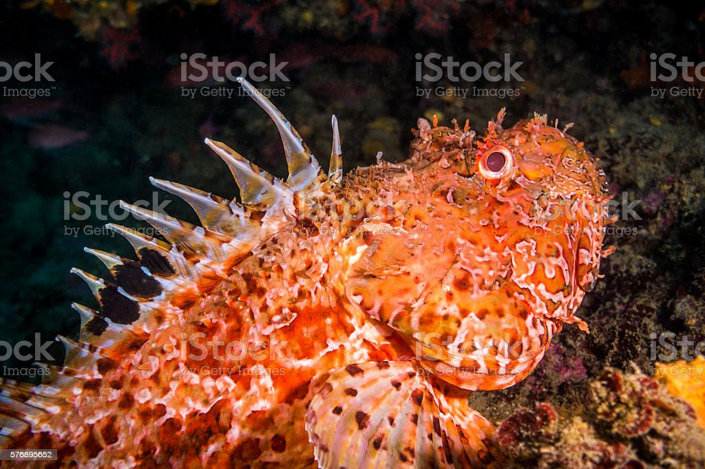 scorpaena escorpora scorpionfish illes medes portrait horizontal diagonal posing natural stock photo