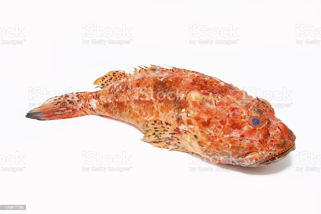 Scorpaena Scrofa,Scorpion fish prepaired for cooking royalty-free stock photo
