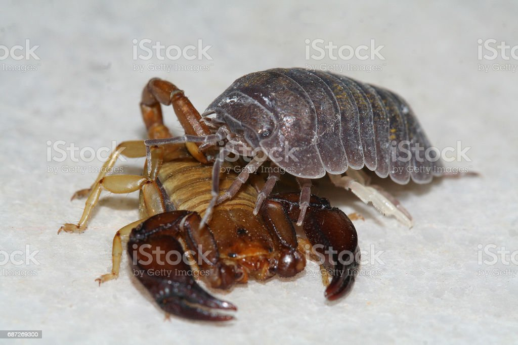 Scorpion and stone background stock photo