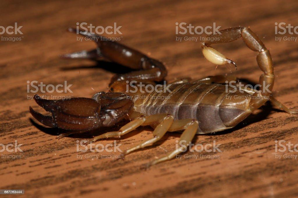 Scorpion and wood background stock photo