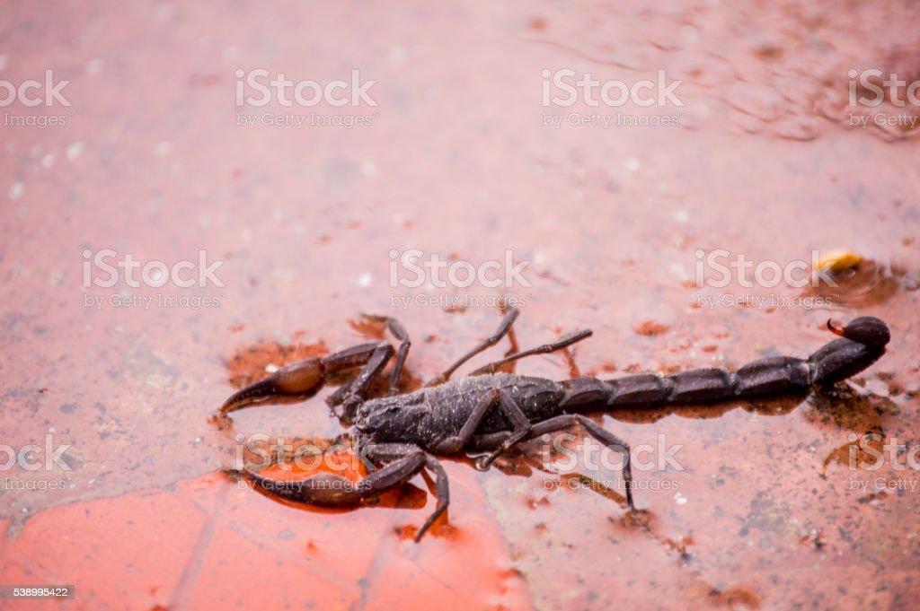 Scorpion black in the water of the rain stock photo