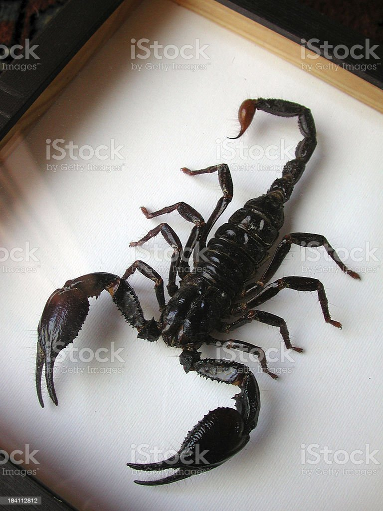 Scorpion box royalty-free stock photo