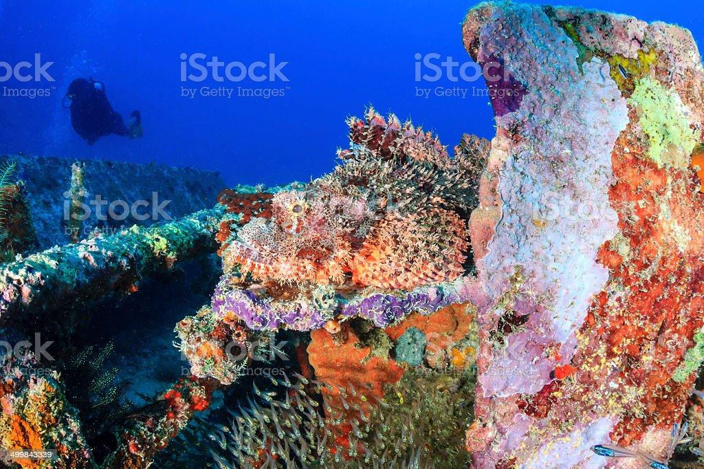 Scorpion fish camouflaged on metal wreckage stock photo