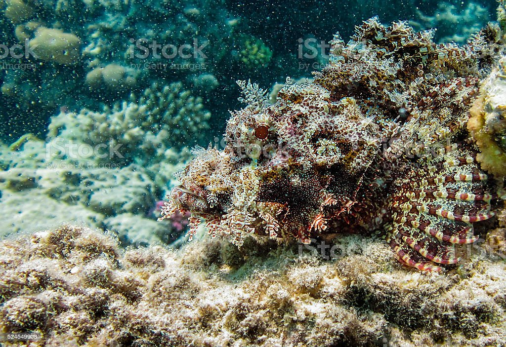 Scorpion fish disguising on rock stock photo