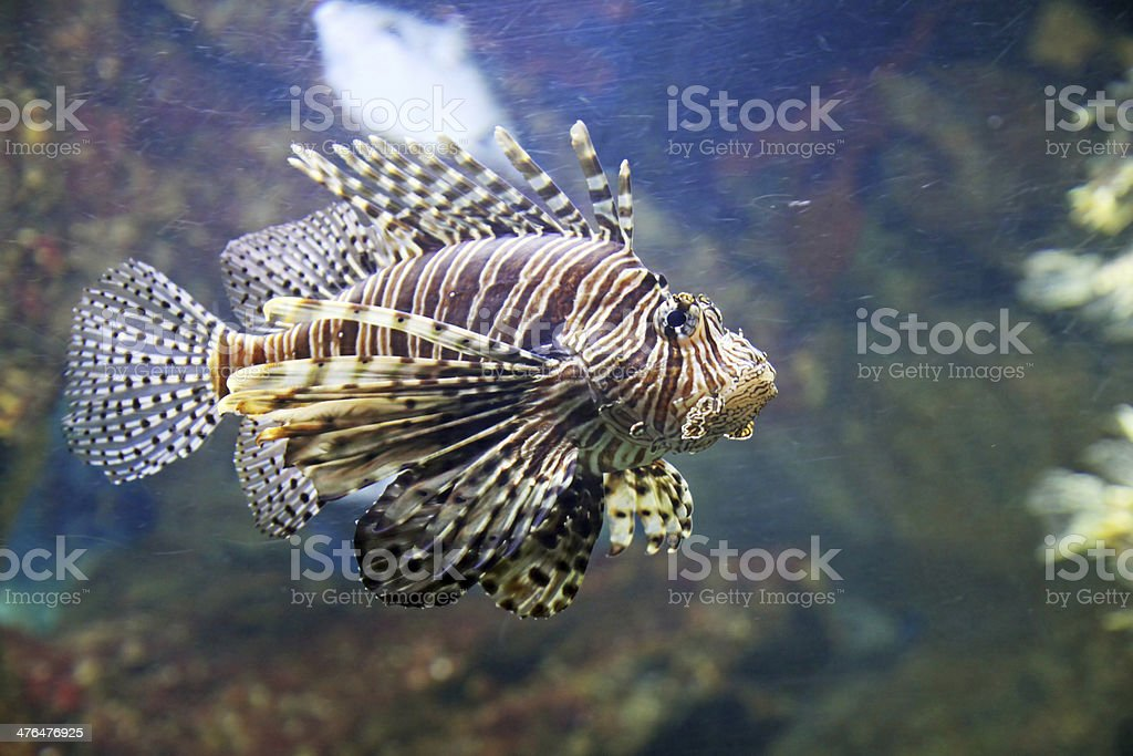Scorpion fish royalty-free stock photo