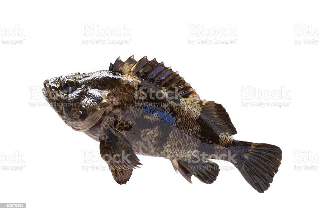 Scorpion fish stock photo