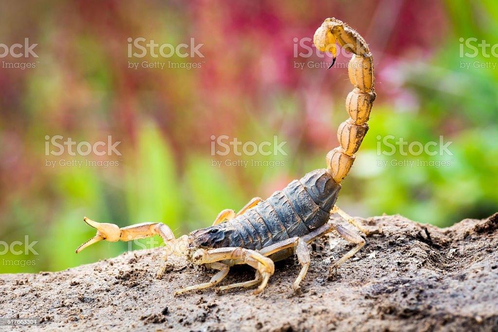 Scorpion in attack position stock photo