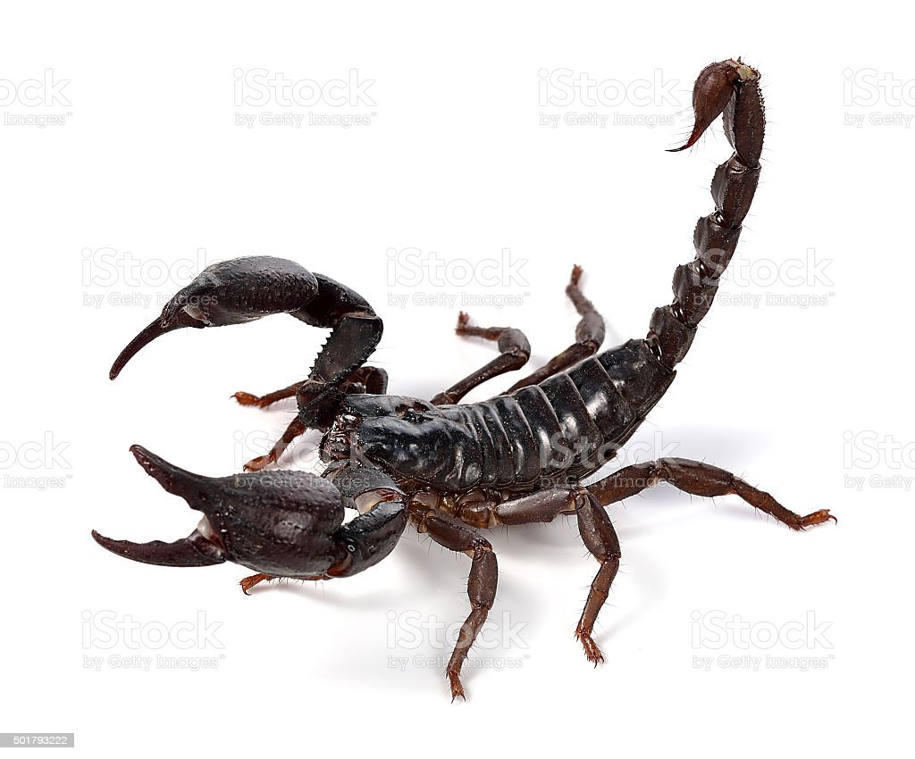 Scorpion of a white background. stock photo