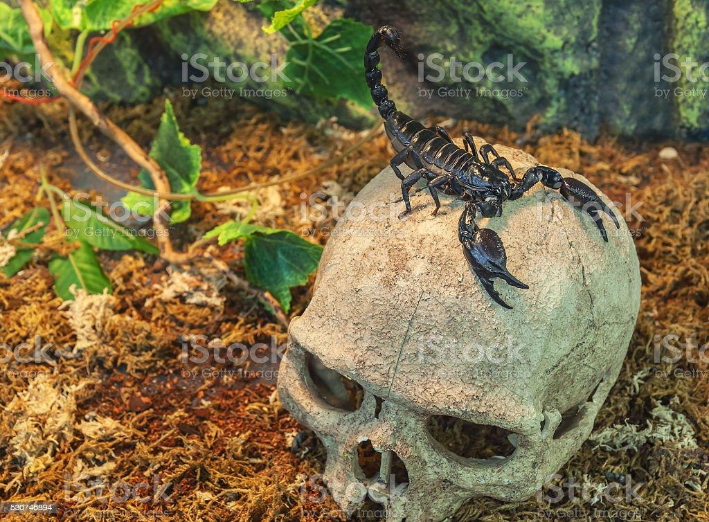 scorpion on a skull stock photo