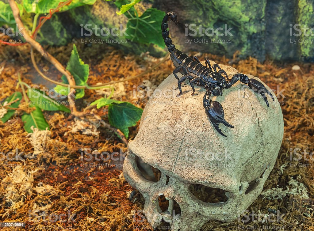 scorpion on a skull stock photo