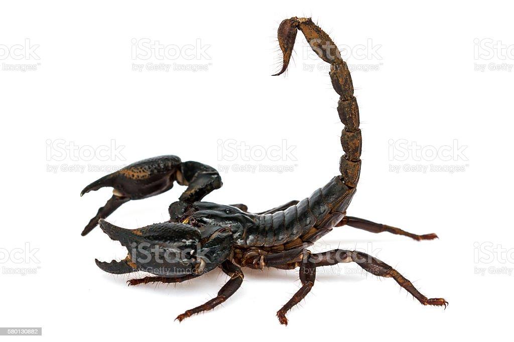 Scorpion Pandinus imperator stock photo
