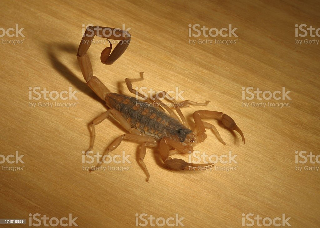 Scorpion royalty-free stock photo