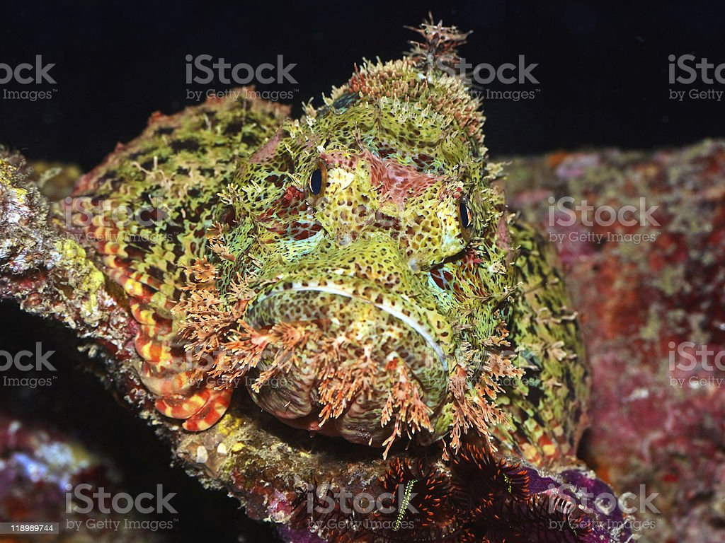 Scorpionfish royalty-free stock photo
