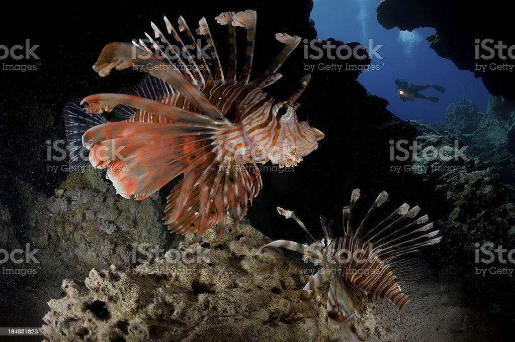 Scorpionfish royalty-free stock photo