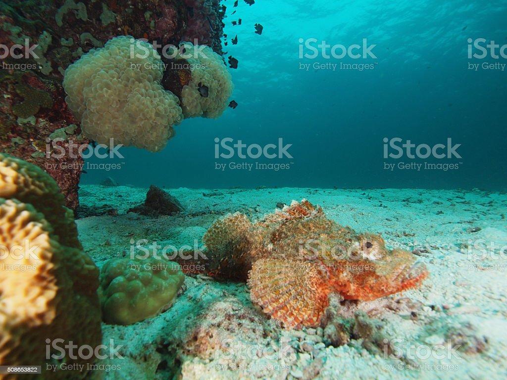 scorpionfish stock photo