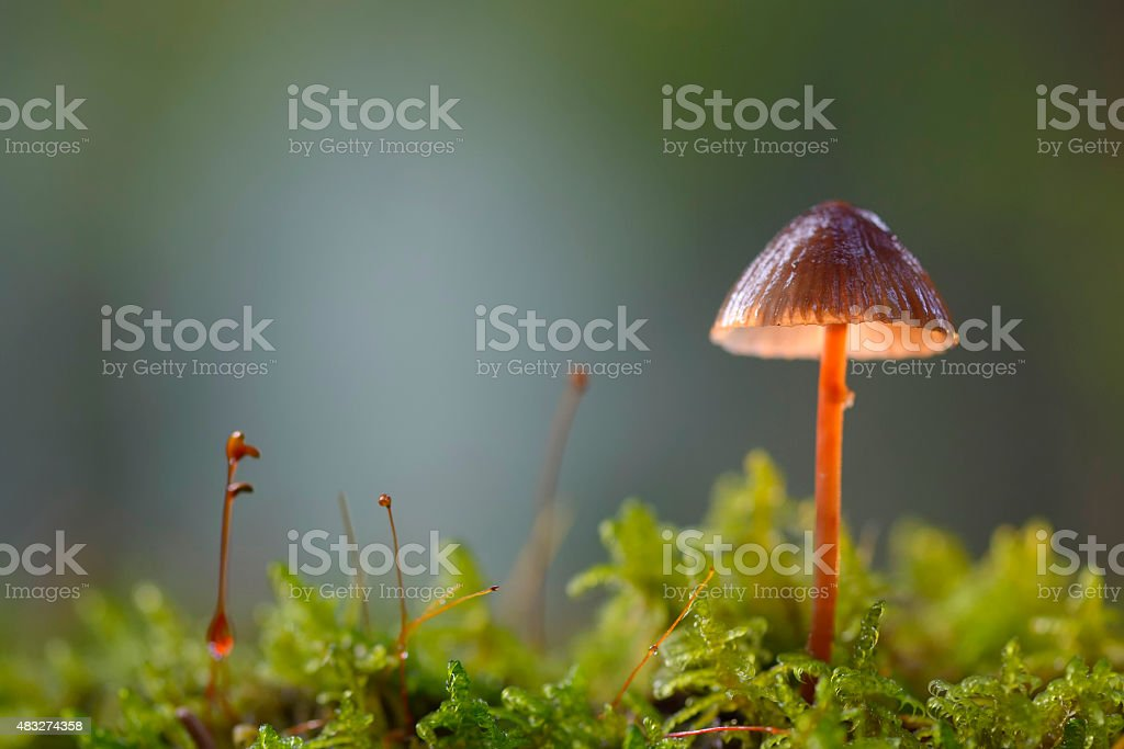 Scotch Bonnet (Marasmius oreades stock photo