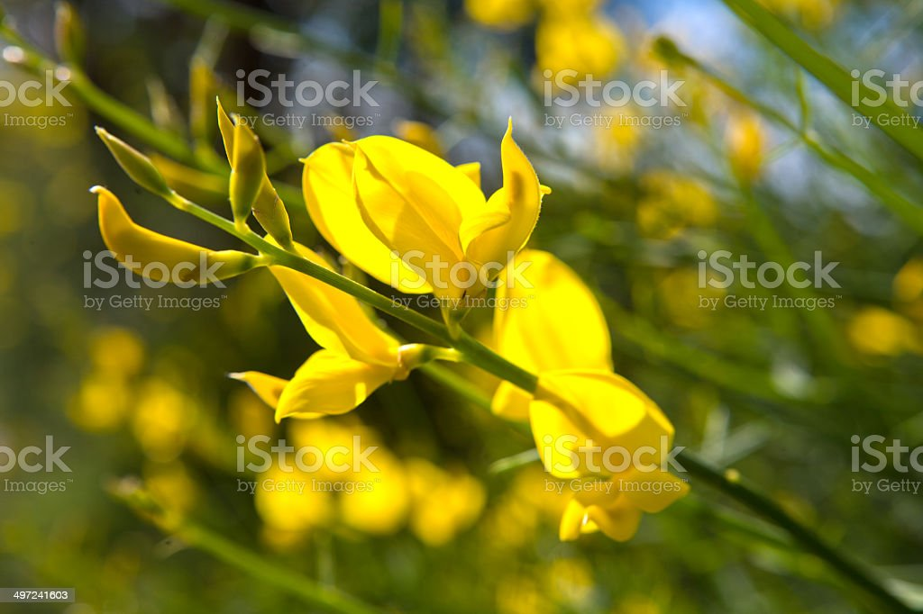 scotch broom closeup stock photo